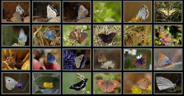 mariposas de turquia