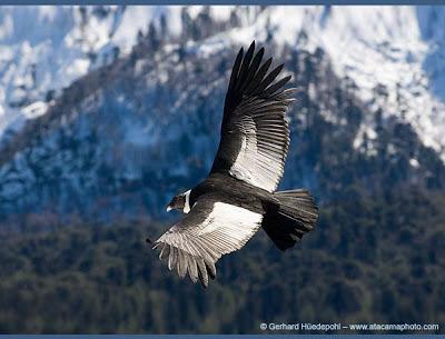 http://1.bp.blogspot.com/_ArPXhi1iYts/SA5nvrq69wI/AAAAAAAAAi0/-XBBcEU7DVE/s400/Andean%2520Condor%2520(Vultur%2520gryphus)%2520soaring%2520over%2520Conguillio%2520National%2520Park.jpg